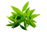Lemon verbena