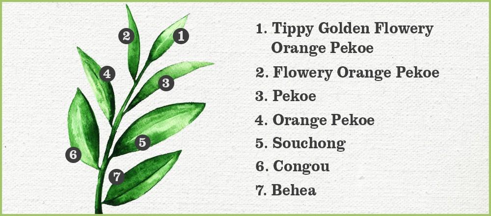 Tea Terminology