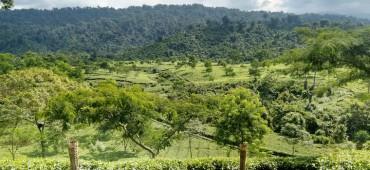 Dirok Tea Estate in Assam