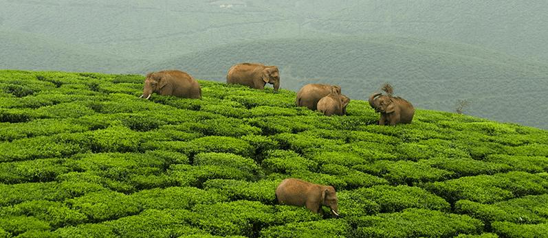Elephants on Assam Tea Estate