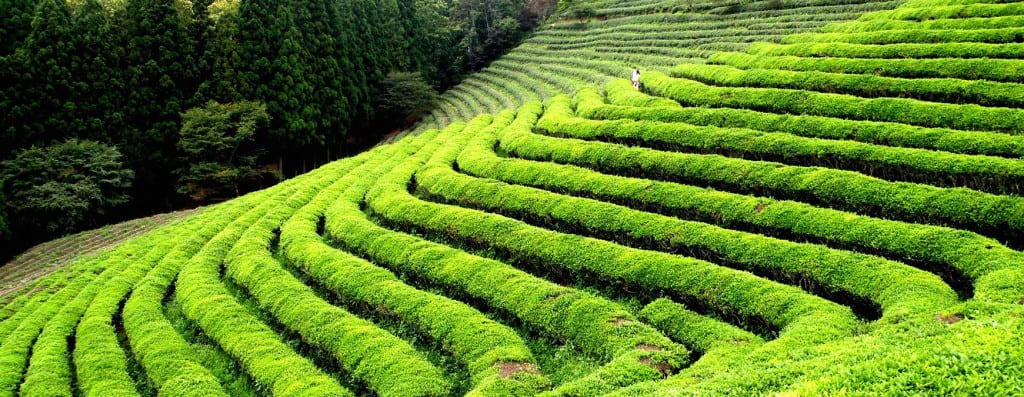 Why is Darjeeling First Flush so Green