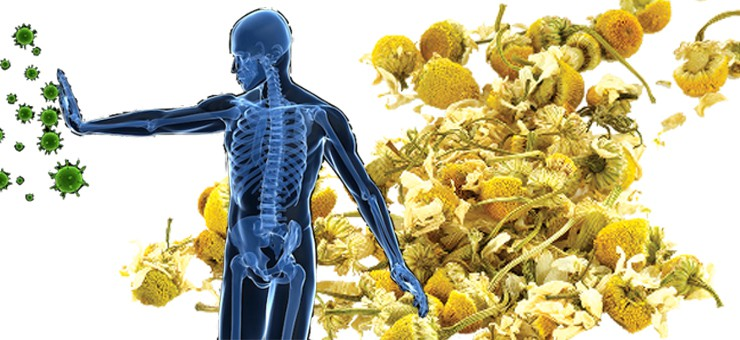 Camomile Tea can help protect your immune system