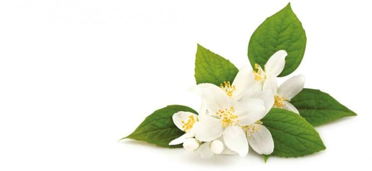 What is Jasmine Flower