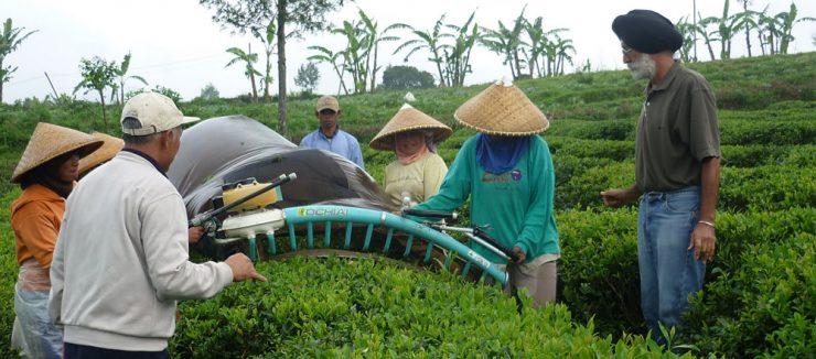 Harvesting Japanese Teas