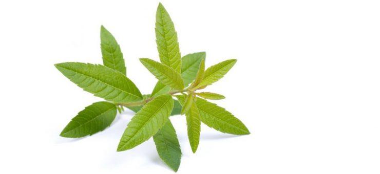 Lemon Verbena Tea Caffeine