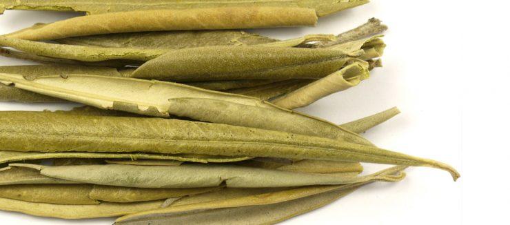 Does Olive Leaf Tea Have Caffeine?