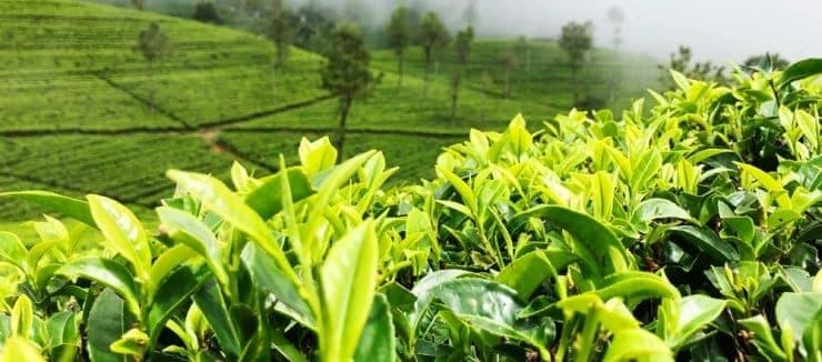 Camellia Sinensis Caffeine