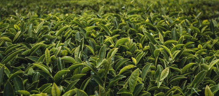 What is Camellia Sinensis?