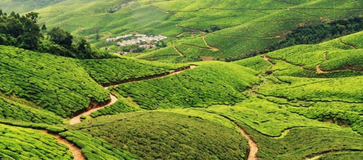 Assam Tea History