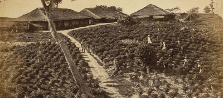 Robert Bruce Discovers Indian Tea