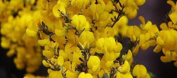 What is Honeybush Tea?