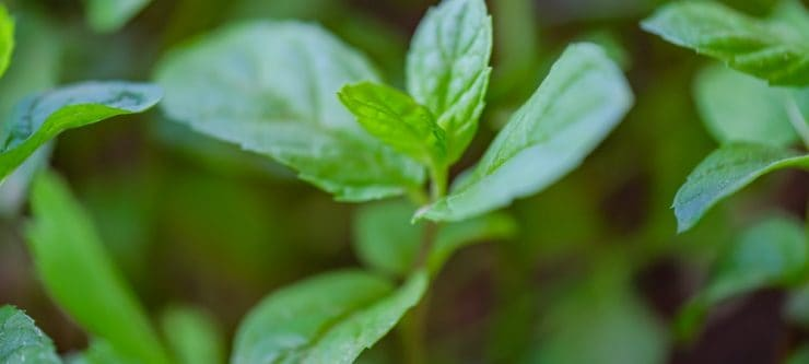 Peppermint Tea for Allergies