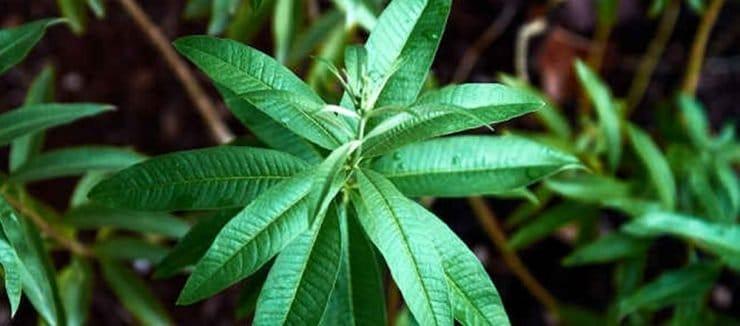 Lemon Verbena Tea Properties