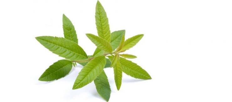 What is Lemon Verbena