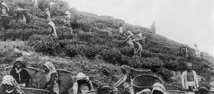 Assam Tea Enables an Indian Tea Industry