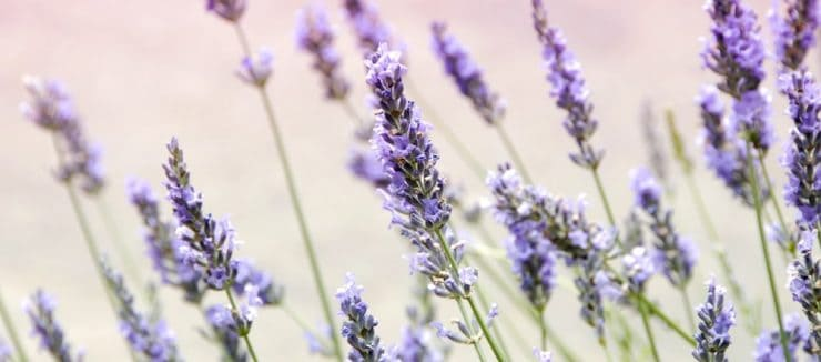 Can I Drink Lavender Tea While Pregnant?